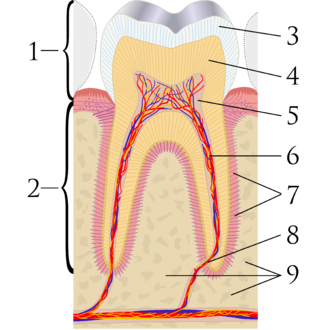 Cross-sectional diagram of a molar tooth. 1: crown, 2: root, 3: enamel, 4: dentin and dentin tubules, 5: pulp chamber, 6: blood vessels and nerve within root canal, 7: periodontal ligament, 8: apex and periapical region, 9: alveolar bone Cross sections of teeth labels.png
