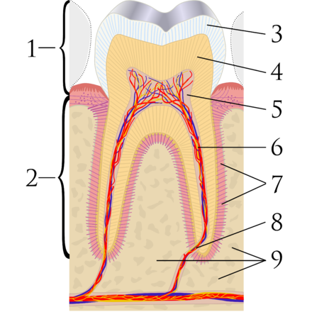 Tooth discoloration wikiwand cross sectional diagram of a molar tooth 1 crown 2 root ccuart Images