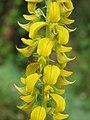 Crotalaria pallida Smooth Rattlebox at Mayyil (2).jpg