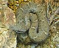 Crotalus willardi willardi (1).jpg