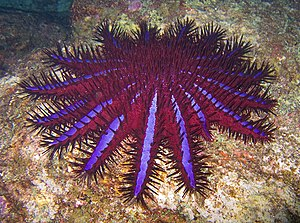 Coral Sea - Crown-of-thorns starfish