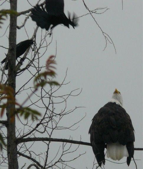 Crows Mobbing Bald Eagle 04