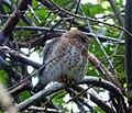 Cuban Pigmy-Owl. Glaucidium siju. Endemic - Flickr - gailhampshire (1).jpg