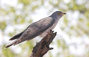 African cuckoo - Adult male in the Kruger National Park