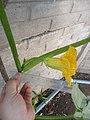 """Cucurbita maxima """"zapallo plomo"""" (Costanzi temp2) flor masculina M02 antesis vista lateral pétalos nerviación sépalos cáliz regla.JPG"""