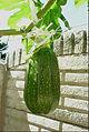 """Cucurbita pepo """"zapallo de Angola"""" semillería La Paulita - fruto día 08 (VE03) - 19,5 cm largo y 1,320 kg peso.jpg"""