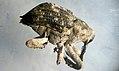 Cute Weevil (6386820717).jpg