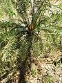 Cycas annaikalensis.JPG