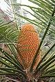 Cycas nayagarhensis Singh Radha Khuraijam.JPG