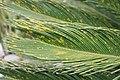 Cycas revoluta 34zz.jpg