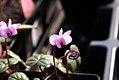 Cyclamen hederifolium 0zz.jpg