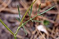 Cymopterus lemmonii - Flickr - aspidoscelis.jpg