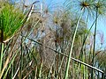 Cyperus papyrus feuilles MHNT.jpg