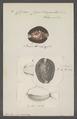 Cypraea caputserpentis - - Print - Iconographia Zoologica - Special Collections University of Amsterdam - UBAINV0274 088 02 0045.tif