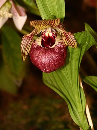 Cypripedium tibeticum 1.jpg