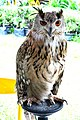 D85 1789Siberian Eagle Owl Photographed by Trisorn Triboon.jpg