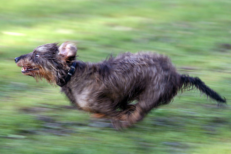 Dachshund dog run like pro