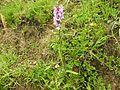 Dactylorhiza fuchsii 12.jpg