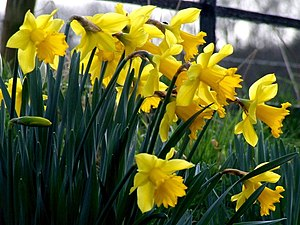 English: Daffodils at Hareby A close-up of the...
