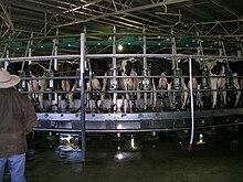 Automatic Milking Wikipedia