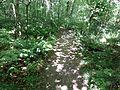 Dappled light on a deciduous woodland floor, Spiers, Beith.jpg