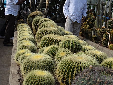 Cacti in a greenhouse in Darjeeling, India DarjeelingCactus.JPG