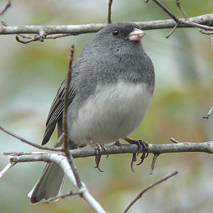 A Dark-eyed Junco subspecies - the Slate-color...