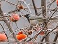 Dark-throated Thrush (Turdus ruficollis) (49815552197).jpg