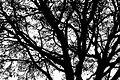 Dark Tree at Shivapuri National Park.jpg