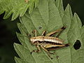 Dark bush-cricket, male larva (9545316552).jpg