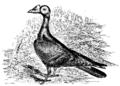 Darwin Domestic 119.png