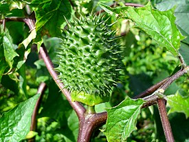 Datura stramonium growing in Wagga Wagga (2).jpg