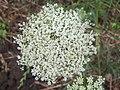 Daucus carota flowers.jpg