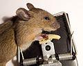 Dead mouse3.jpg