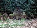 Deer, Sherwood Pines - geograph.org.uk - 388481.jpg