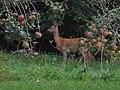 Deer Visits Back Garden - geograph.org.uk - 89428.jpg