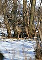 Deer in the Lees - geograph.org.uk - 1154427.jpg
