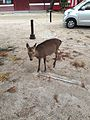 Deer of Miyajima 1.jpg