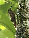 Dendrocincla fuliginosa -NW Ecuador-8