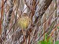Dendroica palmarum 1.jpg