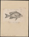 Dentex rivulatus - 1835 - Print - Iconographia Zoologica - Special Collections University of Amsterdam - UBA01 IZ13000247.tif