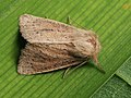 Denticucullus pygmina - Small wainscot - Стеблевая совка красноватая (41121356151).jpg