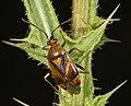 Deraeocoris ruber MHNT Type.jpg