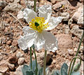 Desert Bearpoppy by Leah Daniel (8949549027).jpg