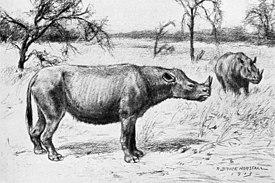 275px-Diceratherium_cooki dans Folie