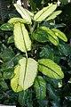 Dieffenbachia maculata Rudolph Roehrs 2zz.jpg