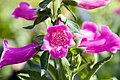 Digitalis purpurea Camelot Rose 3zz.jpg