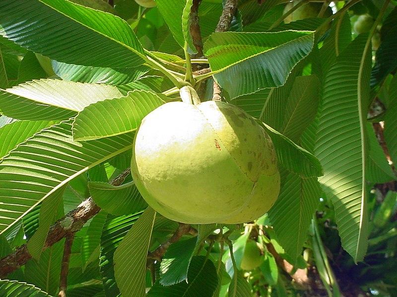 Ficheiro:Dillenia indica fruit.jpg