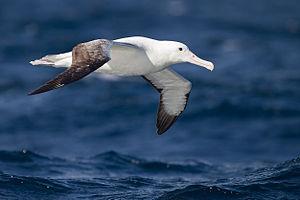 Southern royal albatross - In flight