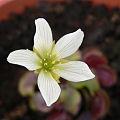 Dionaea's flower.jpg